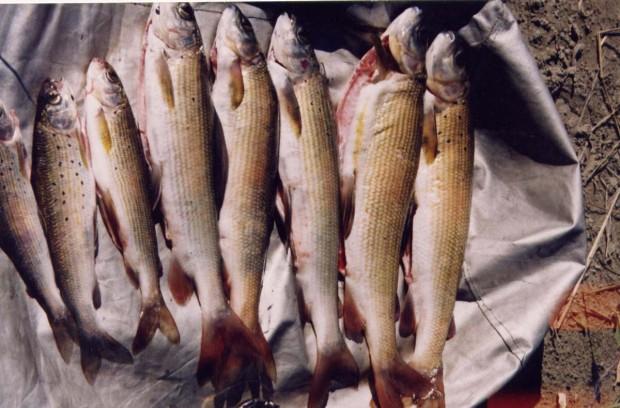 Рыбалка в Горном Алтае - хариус на реке Сумульта